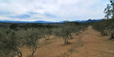 agricultural-land-olive-grove-13500m2-with-170-trees-and-a-small-ruin-for-sale-in-espolla-costa-brava